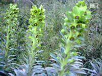 Euphorbia characias, Bush Spurge  Click to see full-size image