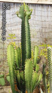 Euphorbia trigona, African Milk Tree   Click to see full-size image