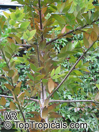 Agathis robusta, Queensland Kauri, Smooth-barked KauriClick to see full-size image
