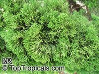 Juniperus chinensis , Chinese juniper  Click to see full-size image