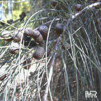 Casuarina equisetifolia, Casuarina muricata, Australian Pine, Ironwood, Horsetail, Iron Wood  Click to see full-size image