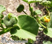 Abutilon hirtum, Sida hirta, Florida Key Indian Mallow