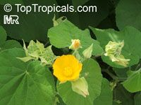 Abutilon indicum, Sida indica, Indian mallow  Click to see full-size image