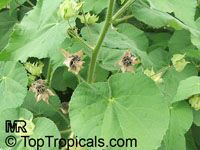 Abutilon indicum, Sida indica, Indian mallow
