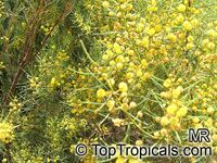 Acacia nematophylla, Acacia  Click to see full-size image