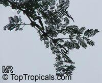 Vachellia xanthophloea, Acacia xanthophloea, Fever tree   Click to see full-size image