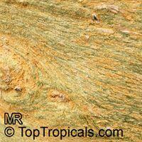 Acacia xanthophloea, Fever tree Click to see full-size image