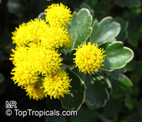 Ajania pacifica, Chrysanthemum pacificum, Pacific Chrysanthemum  Click to see full-size image