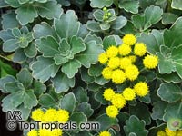 Ajania pacifica, Chrysanthemum pacificum, Pacific Chrysanthemum