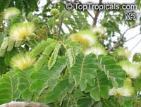 Albizia lebbeck, Mimosa lebbeck, Womans tongue, Siris-tree, Rain tree, East Indian walnut, Kokko, Soros-tree, Raom tree  Click to see full-size image