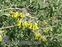 Anagyris foetida, Mediterranean Stinkbush, Stinking Bean Trefoil, Purging Trefoil   Click to see full-size image