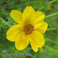 Bidens ferulifolia, Bidens aurea, Apache Beggarticks, Bur Marigold  Click to see full-size image