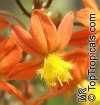 Bulbine frutescens, Bulbine caulescens, Stalked Bulbine, Rankkopieva, Orange African Bulbine