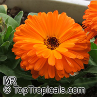 Calendula officinalis, Pot Marigold, Scotch Marigold  Click to see full-size image