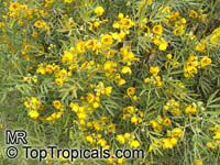 Senna artemisioides subsp. sturtii , Grey Cassia  Click to see full-size image