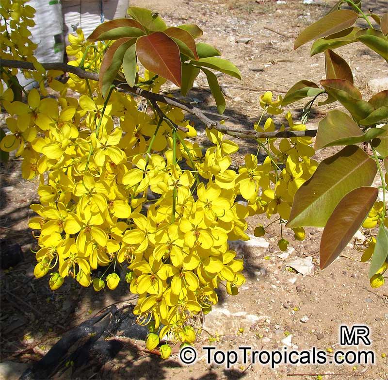 Cassia fistula, Golden Shower Tree, Indian Laburnum, RatchaphruekClick ...