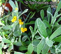 Chrysocephalum apiculatum, Yellow Buttons  Click to see full-size image