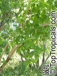 Combretum erythrophyllum, Bush willow