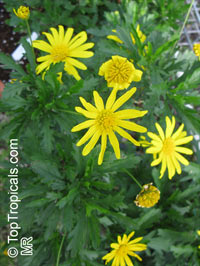 Euryops sp., EuryopsClick to see full-size image