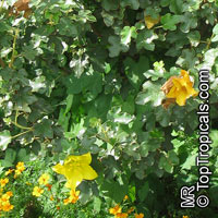 Fremontodendron sp., Flannelbush  Click to see full-size image