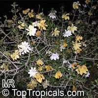 Gardenia volkensii, Transvaal Gardenia, Bushveld Gardenia  Click to see full-size image