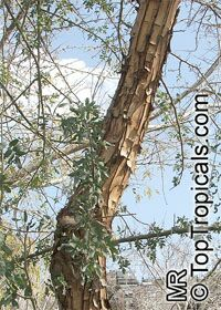 Geoffroea decorticans, Chilean Palo Verde, Chanar, Kumbaru  Click to see full-size image