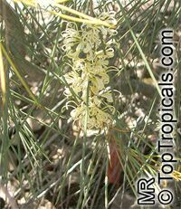 Hakea tephrosperma, Hooked Needlewood, Small-fruit Hakea  Click to see full-size image
