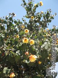 Hibiscus tiliaceus, Talipariti tiliaceum, Mahoe  Click to see full-size image