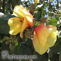 Hibiscus tiliaceus - seeds  Click to see full-size image