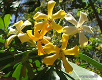 Hymenosporum flavum, Native Frangipani, Queensland Frangipani, Sweet Cheesewood, Sweetshade  Click to see full-size image