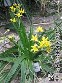 Hypoxis hemerocallidea, Hypoxis rooperii, Yellow Stars, Star Lily, African PotatoClick to see full-size image