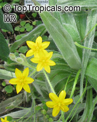 Hypoxis villosa, Golden Winter StarClick to see full-size image