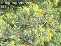 Cleome isomeris, Isomeris arborea, Bladderpod Spiderflower, Burro FatClick to see full-size image