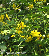 Jasminum humile, Jasminum giraldi, Italian JasmineClick to see full-size image