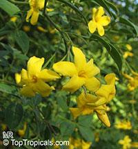 Jasminum humile - Italian jasmine  Click to see full-size image