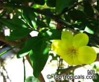 Jasminum mesnyi, Jasminum primulinum, Japanese Jasmine, Primrose JasmineClick to see full-size image
