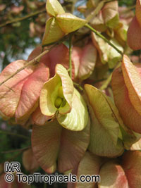 Koelreuteria bipinnata, Chinese Flame Tree, Chinese Golden Rain Tree  Click to see full-size image