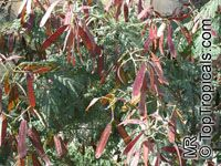 Leucaena leucocephala, Leucaena glauca, Mimosa leucocephala, Acacia leucocephala, Wild Tamarind, Lead Tree  Click to see full-size image