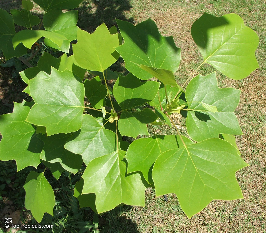 Yellow Poplar Wood For Sale: Liriodendron Tulipifera, Tulip Tree, Yellow Poplar, Tulip