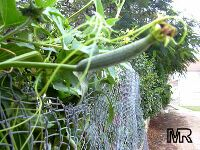 Luffa cylindrica, Loofah, Dishcloth Gourd, Vegetable Sponge Gourd