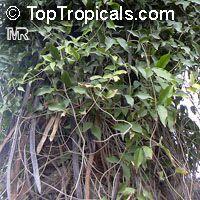 Macfadyena unguis-cati, Doxantha unguis-cati, Bignonia tweediana, Cat's ClawClick to see full-size image