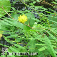 Neptunia oleracea, Water Mimosa  Click to see full-size image