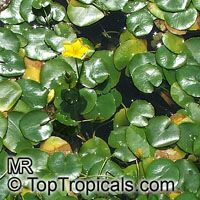 Nymphoides peltata, Yellow Floating Heart  Click to see full-size image