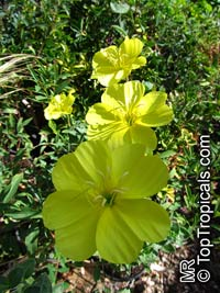 Oenothera drummondii, Oenothera littoralis, Beach Evening Primrose  Click to see full-size image