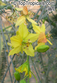 Parkinsonia aculeata - Jerusalem thorn  Click to see full-size image
