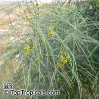 Parkinsonia aculeata, Jerusalem Thorn