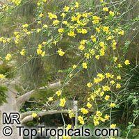 Parkinsonia sp., Cercidium sp., Palo Verde  Click to see full-size image