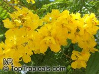 Peltophorum pterocarpum - Yellow Poinciana - seeds