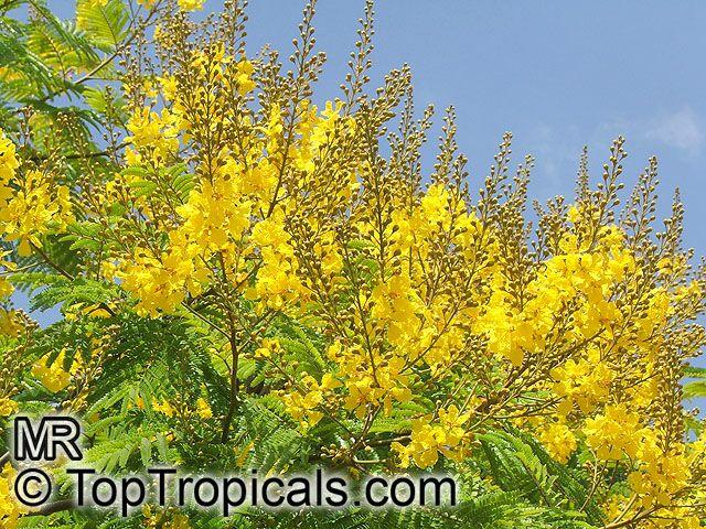Peltophorum Pterocarpum Caesalpinia Ferruginea
