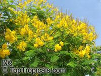 Peltophorum dubium, Yellow Poinciana  Click to see full-size image